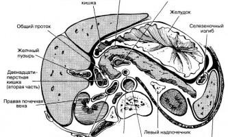 Анатомічна будова і розташування підшлункової залози