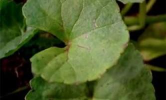 Екстракт centella asiatica для мезотерапії