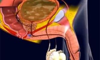 Органи сечостатевої системи, що беруть участь в еякуляції