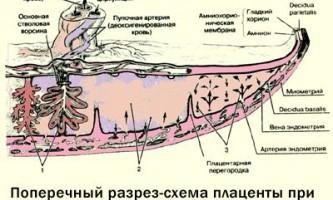 Розвиток плаценти